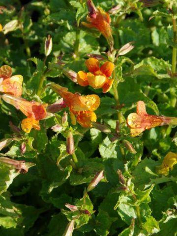 Mimulus cupreus 'Burnetii' - Maskerbloem