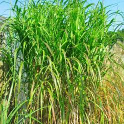 Miscanthus floridulus - Chinees reuzenriet