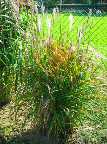 Miscanthus  'Purpurascens' - Prachtriet