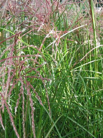 Miscanthus sinensis 'Ferner Osten' - Prachtriet