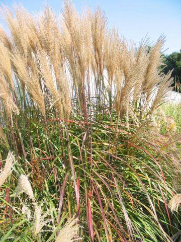 Miscanthus sinensis 'Kupferberg' - Prachtriet