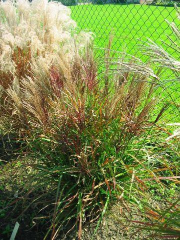 Miscanthus sinensis 'Malepartus Little' - Prachtriet
