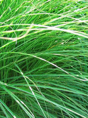 Miscanthus sinensis 'Morning Light' - Bont prachtriet