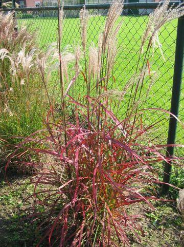 Miscanthus sinensis 'Roter Pfeil' - Prachtriet