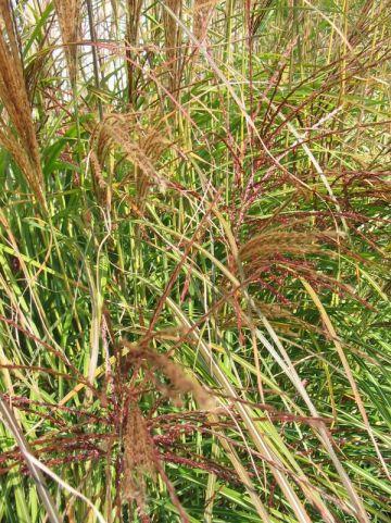 Miscanthus sinensis 'Silberspinne' - Prachtriet