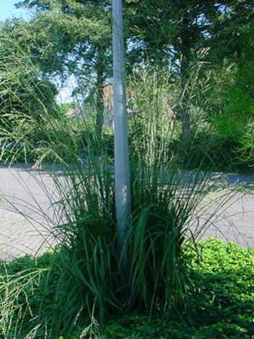 Molinia arundinacea 'Skyracer' - Pijpestrootje