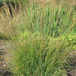 Molinia caerulea 'Heidebraut' - Pijpestrootje