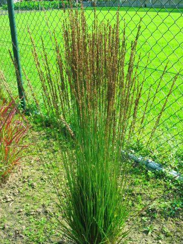 Molinia caerulea 'Moorhexe' - Pijpestrootje