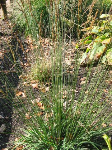 Molinia caerulea 'Strahlenquelle' - Pijpestrootje