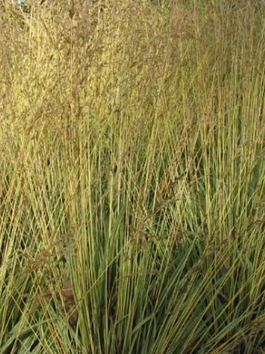 Molinia caerulea 'Variegata' - (Bont) pijpestrootje