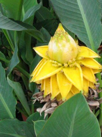 Musella lasiocarpa  - Banaan
