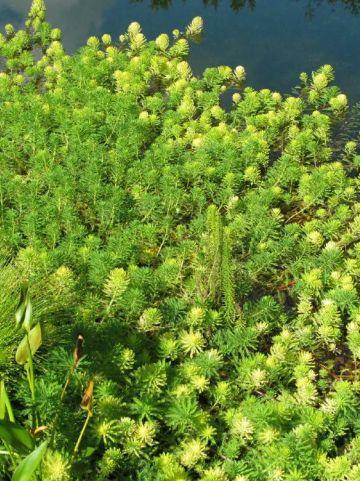 Myriophyllum aquaticum  - Parelvederkruid