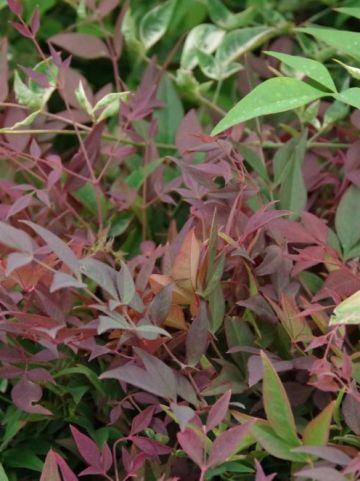 Nandina domestica 'Obsessed' (='Seika') - Schijnbamboe , Hemelse bamboe