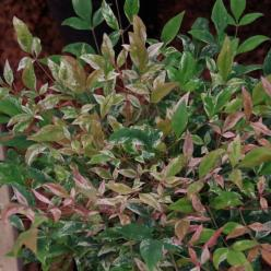 Nandina domestica 'Twilight' - Schijnbamboe , Hemelse bamboe