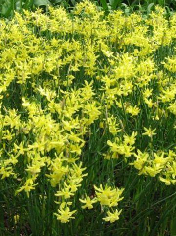 Narcissus 'Hawera' - Narcis