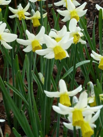 Narcissus  'Jack Snipe' - Narcis