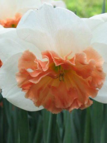 Narcissus  'Precocious' - Narcis