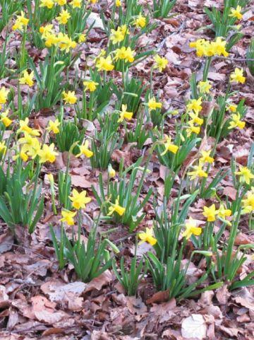 Narcissus  'Tête-à-Tête' - Narcis