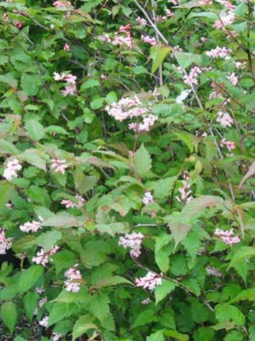 Neillia affinis  - Trosspirea