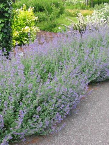 Nepeta 'Six Hills Giant' - Kattekruid