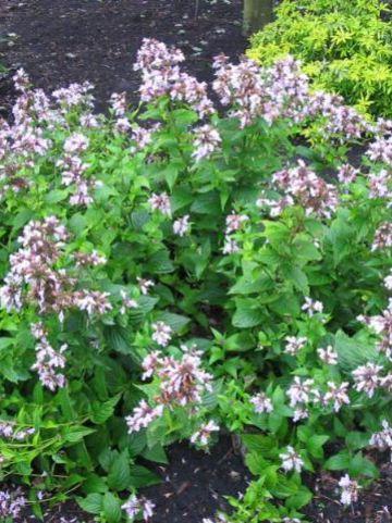 Nepeta subsessilis 'Candy Cat' - Grootbloemig kattekruid