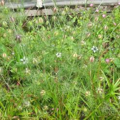 Nigella damascena  - Juffertje-in-het-groen