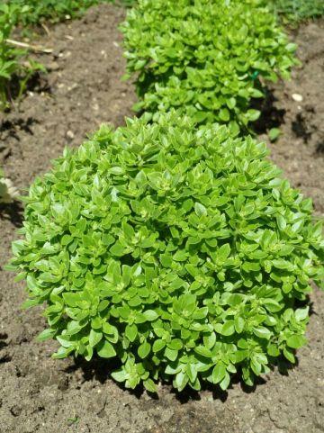 Ocimum basilicum  - Basilicum , Bazielkruid