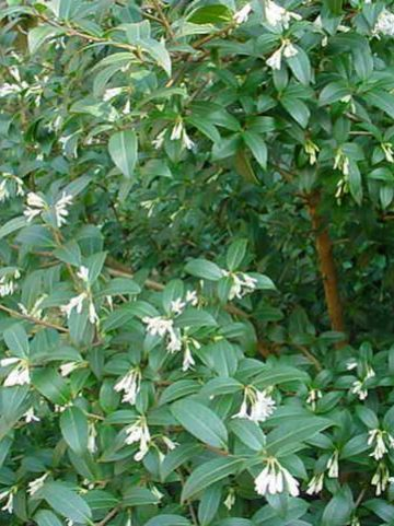 Osmanthus x burkwoodii - Schijnhulst
