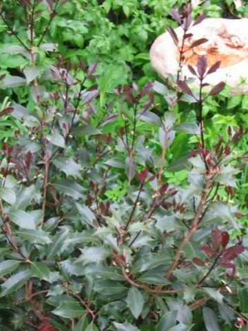Osmanthus heterophyllus 'Purpureus' - Schijnhulst