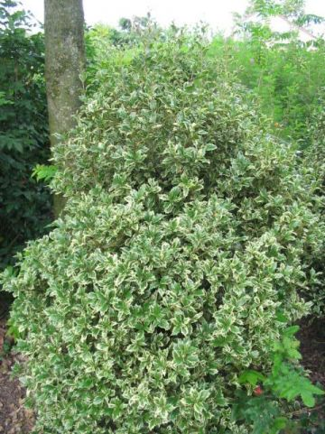 Osmanthus heterophyllus 'Variegatus' - Schijnhulst