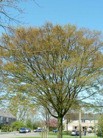 Ostrya carpinifolia - Europese hopbeuk
