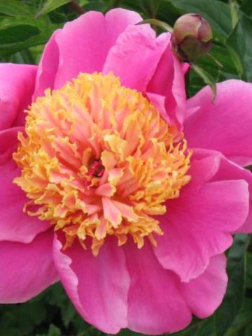 Paeonia  'Bowl of Beauty' - Pioen