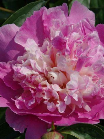 Paeonia  'Bowl of Beauty' - Pioen