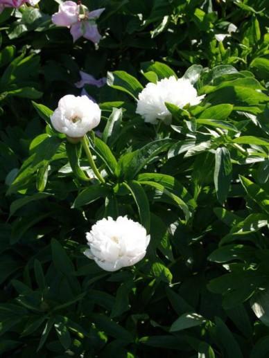 Paeonia officinalis 'Alba Plena' - Witte boerenpioen
