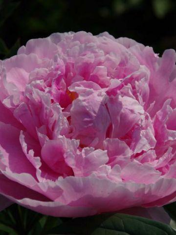Paeonia 'Sarah Bernhardt' - Pioenroos