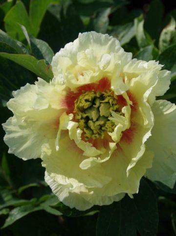 Paeonia  'Yellow Emperor' - Pioenroos