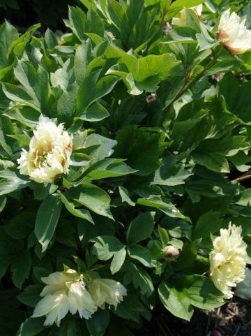 Paeonia  'Yellow Gem' - Pioenroos