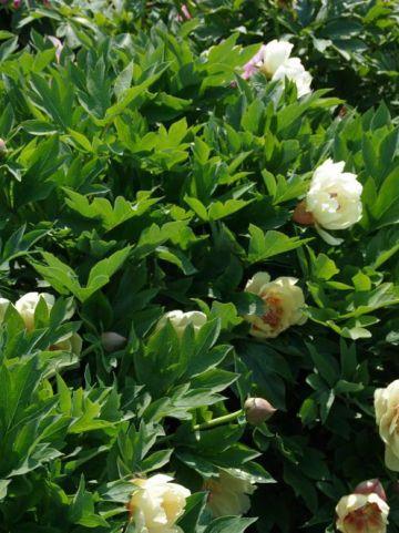 Paeonia  'Yellow Heaven' - Pioenroos