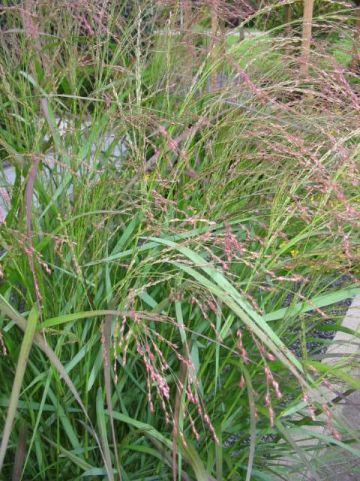 Panicum virgatum 'Squaw' - Vingergras , Parelgierst