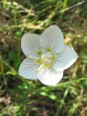 Parnassia palustris  -