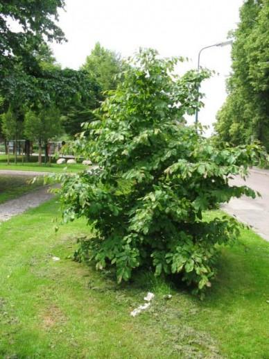 Parrotia persica - Perzisch IJzerhout