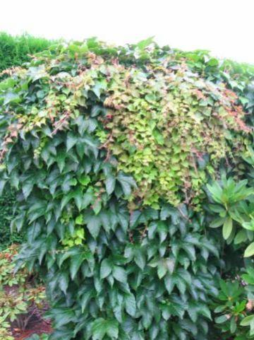 Parthenocissus tricuspidata 'Green Spring' - Wilde wingerd