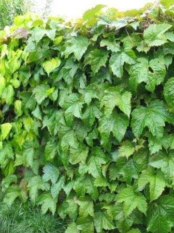 Parthenocissus tricuspidata 'Purpurea' - Wilde wingerd