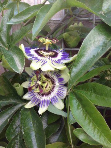 Passiflora caerulea - Blauwe passiebloem