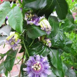 Passiflora edulis  - Passievrucht