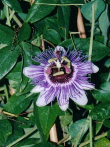 Passiflora  'Purple Haze' - Passiebloem