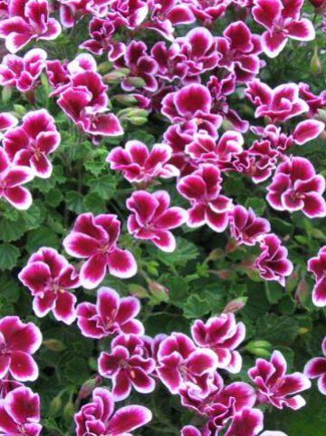 Pelargonium grandiflorum  - Franse geranium