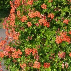 Pelargonium peltatum  - Hanggeranium