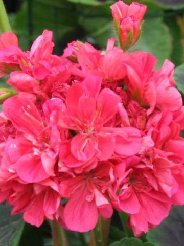 Pelargonium zonale  - Staande geranium