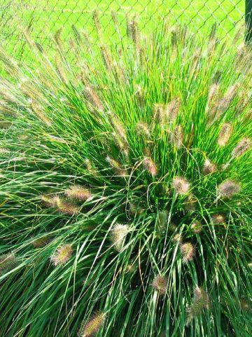 Pennisetum alopecuroides - Lampenpoetsersgras